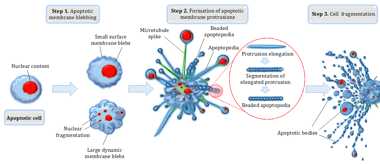 define apoptosis give an example