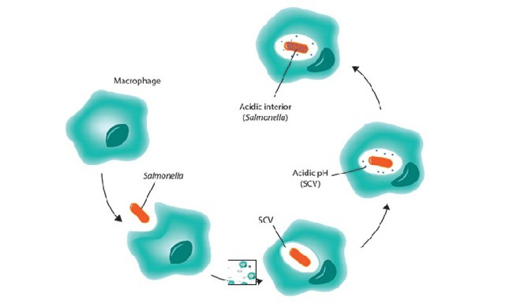 white blood cells engulf bacteria is an example of