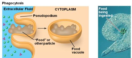 an endocytosis example that means cell eating is