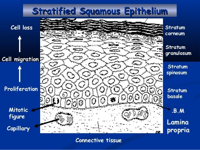 stratum germinativum is an example of which kind of epithelium
